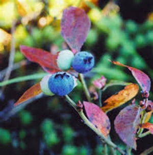 Blueberry leaves help block Hepatitis C